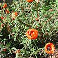 Sundial Tangerine