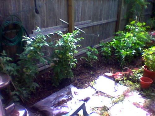 Missing Third Tomato